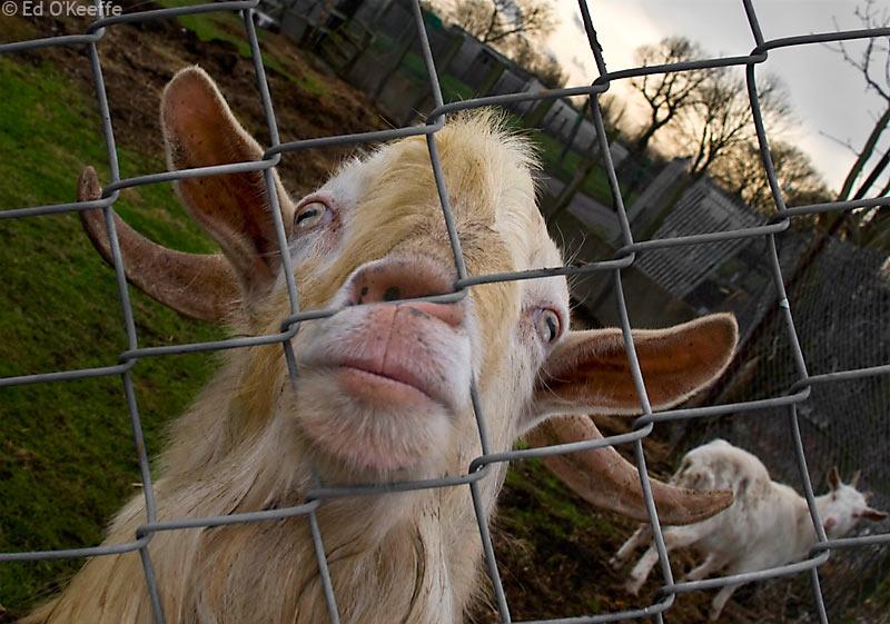 fenced_goat_portrait